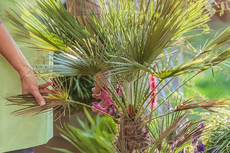 Comment entretenir un palmier ?