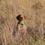 Comment choisir le gilet de protection pour un chien de chasse ?